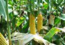 Uprawa nowych zarejestrowanych odmian kukurydzy – lista COBORU