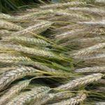 Jakie odmiany zbóż w ekologii?
