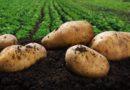 Sztuczna inteligencja pomoże ziemniakowi?