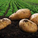 Zasady rejestracji upraw i kontrole obrotu ziemniakami w Polsce