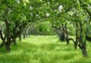 Skąd biorą się jabłka z Chronionym Oznaczeniem Geograficznym?