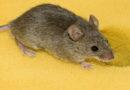 Jak zwalczyć myszy?
