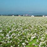 Chemiczna desykacja upraw gryki i prosa – niedopuszczalna