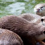 Zarząd KRIR w sprawie redukcji populacji bobrów