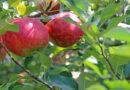 Czy jabłka słuchają muzyki klasycznej?