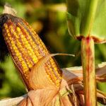 Jak dobrze uprawiać kukurydzę przeznaczoną na kiszonkę?