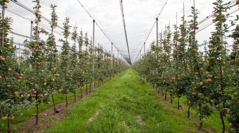 Czy polskie jabłka sprostają unijnym i rynkowym wyzwaniom?